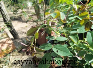 signs-of-plants-affected-by-lack-of-water-cay-hoa-hong-thieu-nuoc-6